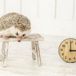 ゲーム配信を開始する時間を気にするハリネズミ